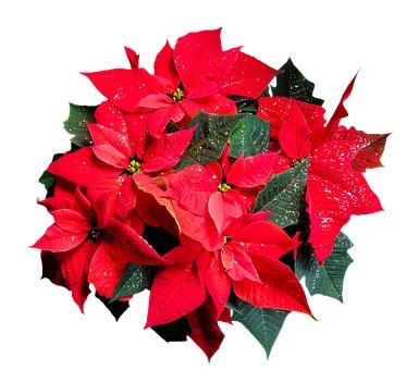 Weihnachtsstern, Dia de Navidad