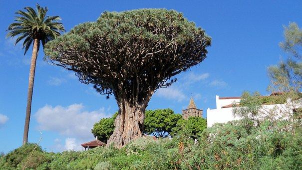Drachenbaum und die Guanchen