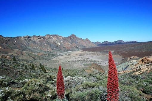 endemische Pflanze auf Teneriffa  Tajinaste