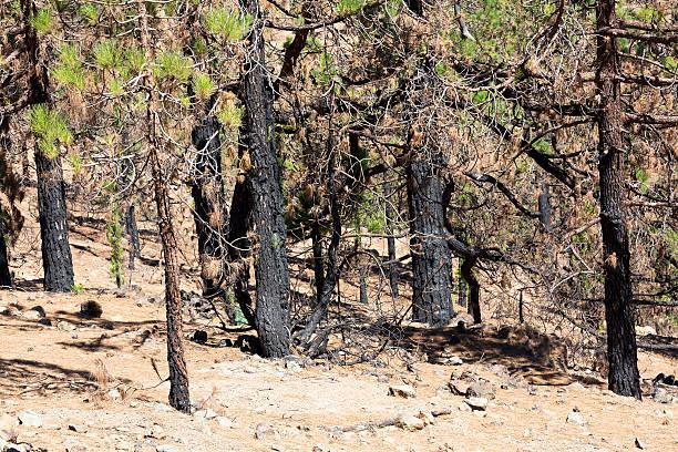 kanarische Kiefer nach Waldbrand