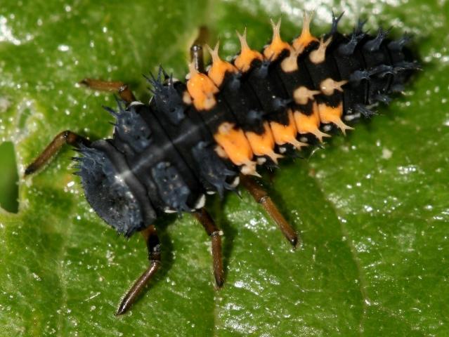 Marienkäferlarve (NABU)