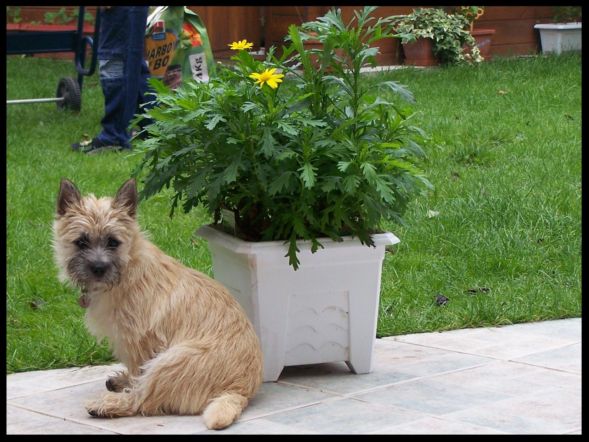 t moignage de charlie 39 s girl et sylvie elevage du domaine de kerallan chiot cairn terrier en. Black Bedroom Furniture Sets. Home Design Ideas