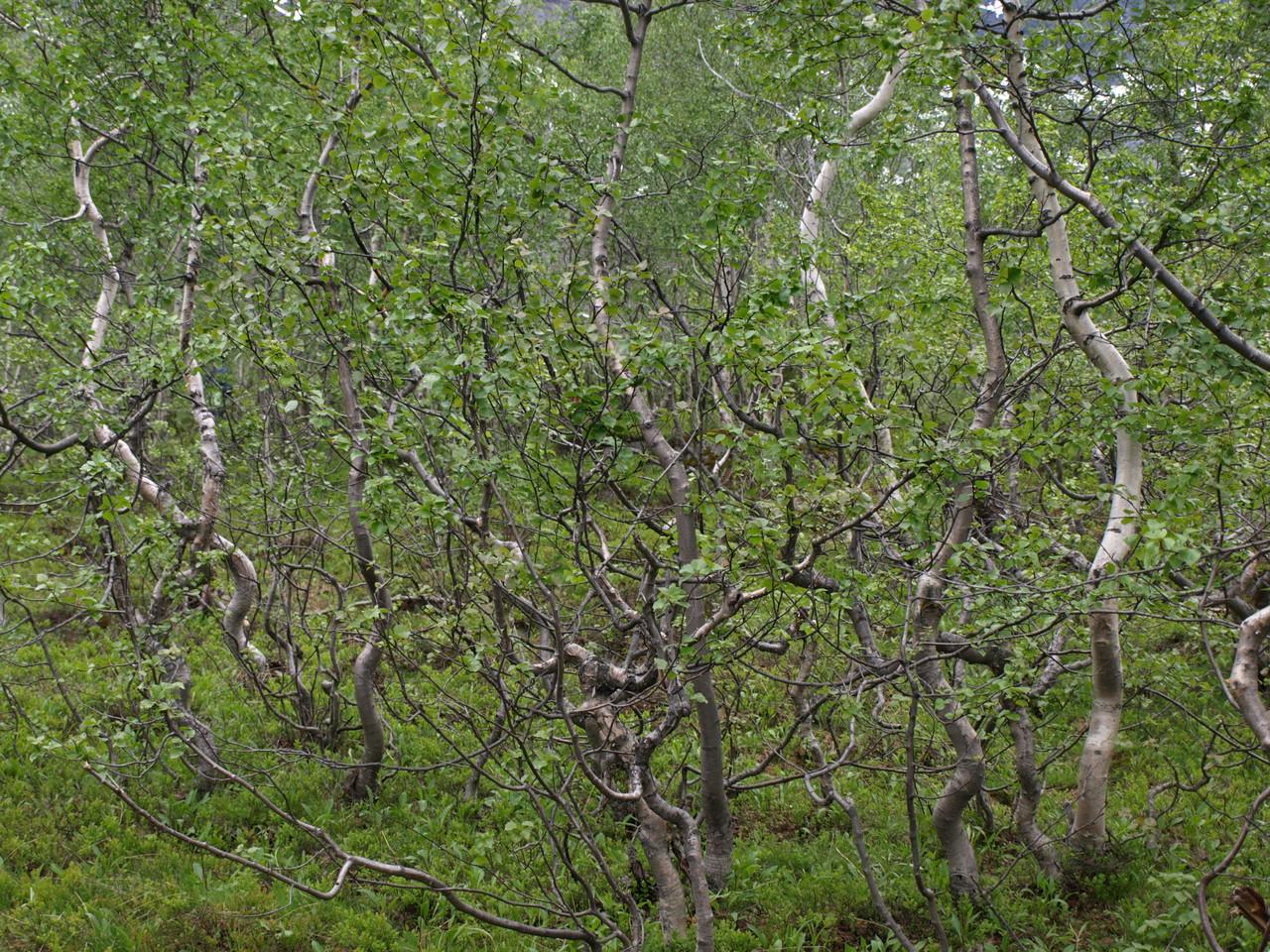 der tanzende Birkenwald