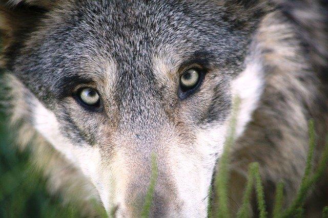Können Wölfe so werden wie Hunde?