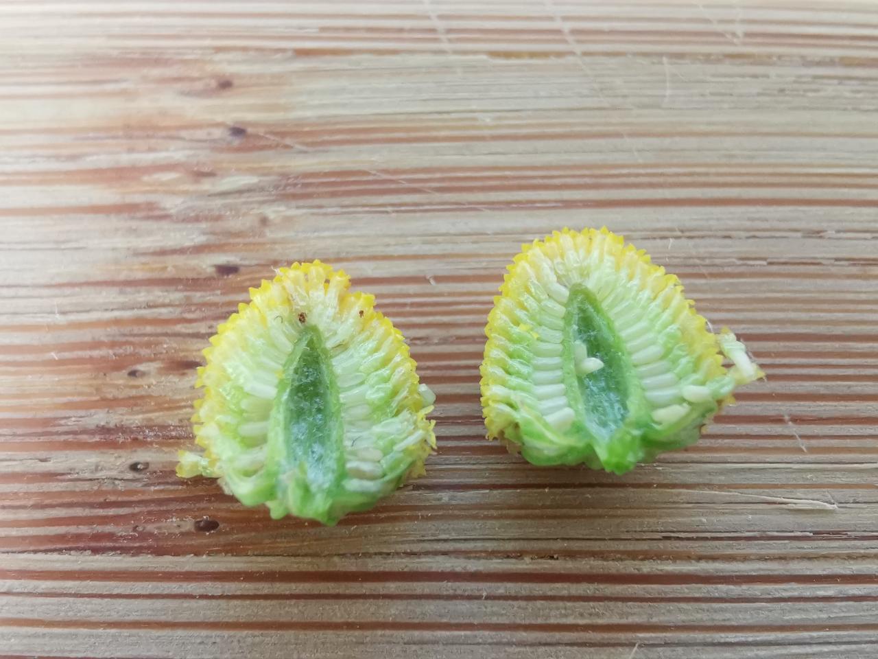 Echte Kamille - Unterscheidungsmerkmal: Hohler Blütenboden