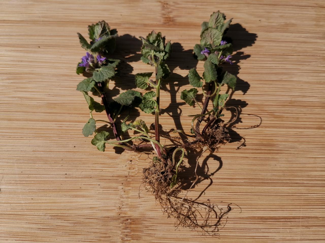 Gundermann Ganze Pflanze