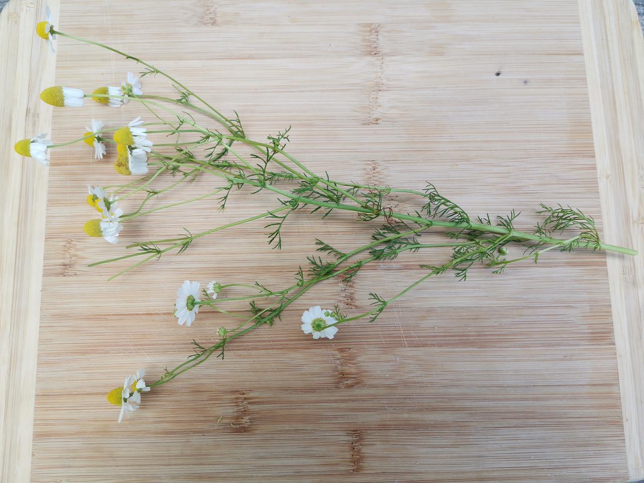 Echte Kamille - Ganze Pflanze