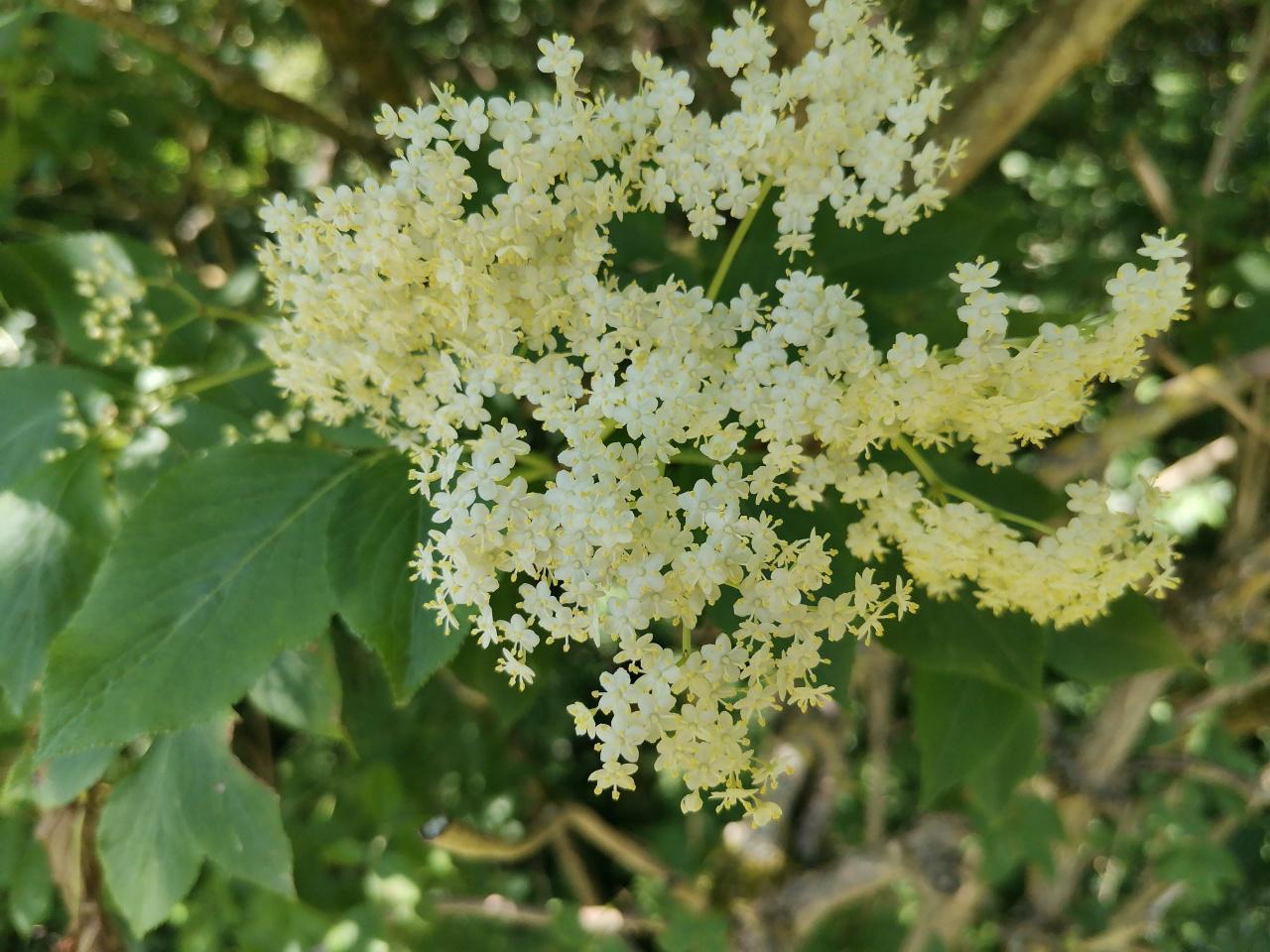 Schwarzer Holunder Blüten