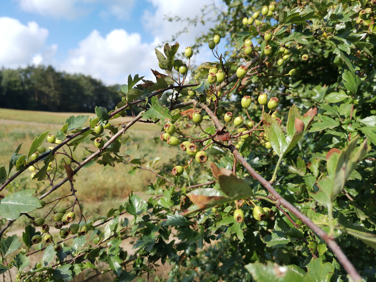 Weißdorn Beeren unreif