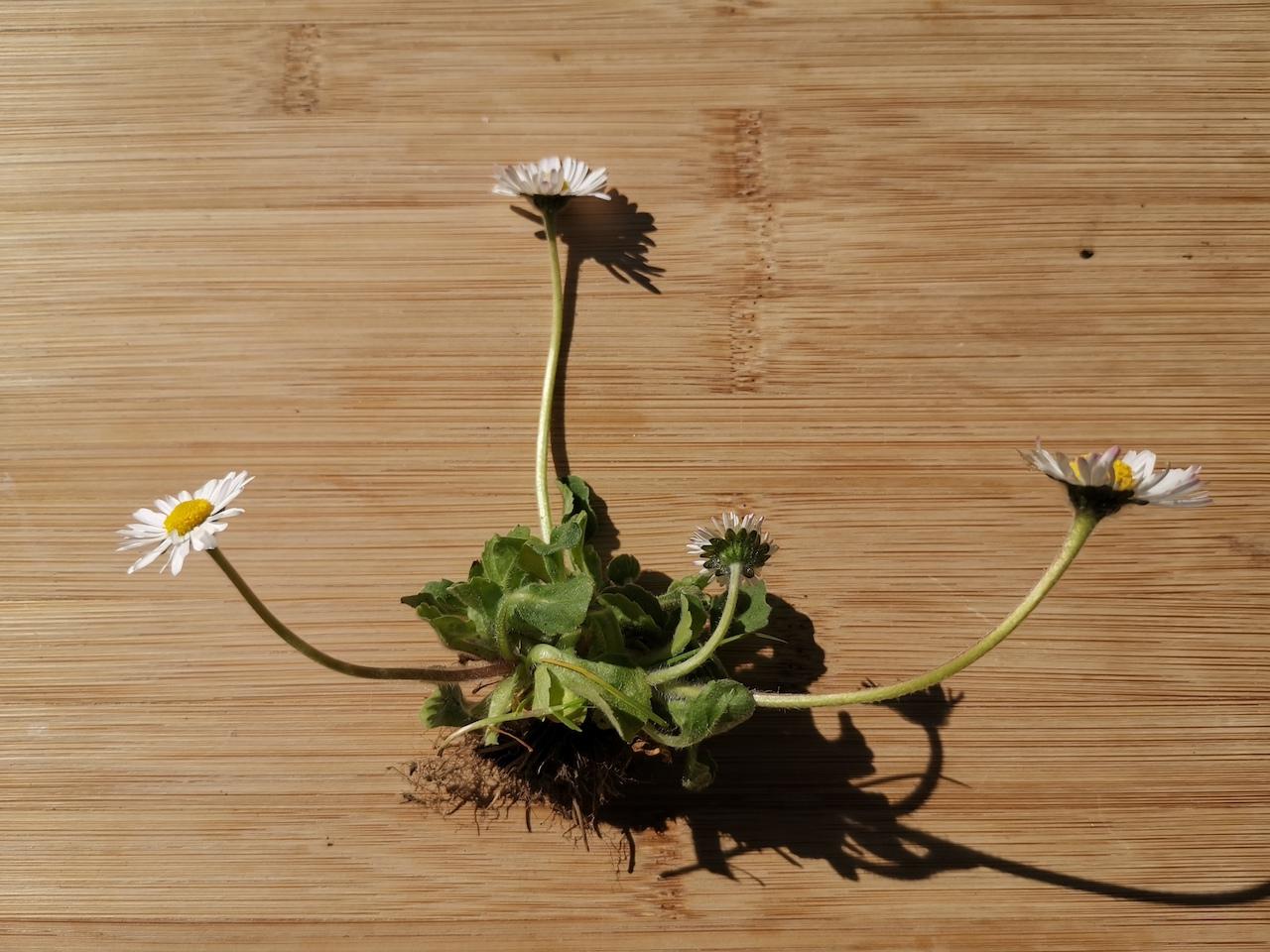Gänseblümchen ganze Pflanze