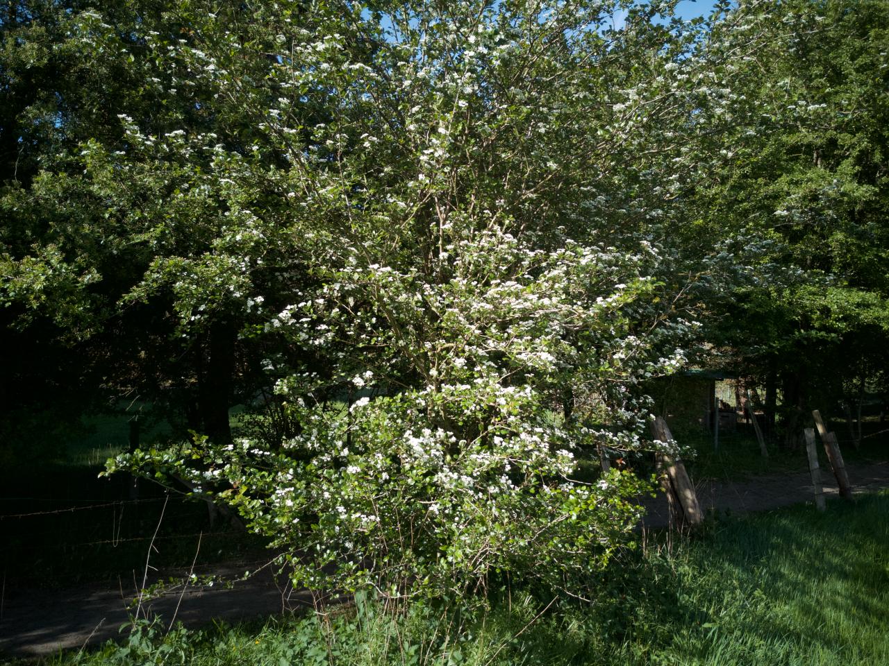 Weißdorn ganze Pflanze