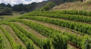 vigne en terrasses dans le vallon