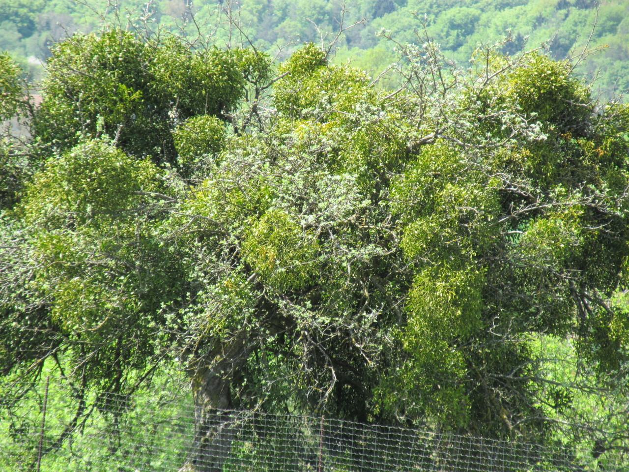 Alte Apfelbäume mit Misteln