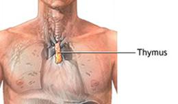 Die Thymusdrüse und das Immunsystem
