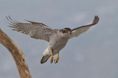 Vogel des Jahres 2015 - der Habicht; Foto: NABU/W.Lorenz