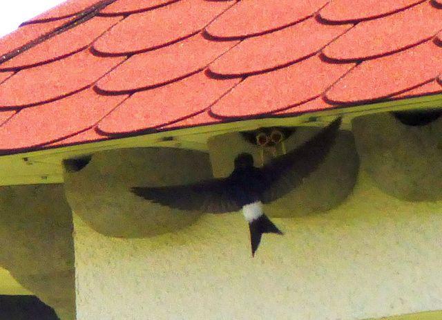 In 5 Nestern wurden Junge aufgezogen – darunter waren auch die beiden schon benutzten. Zufall?