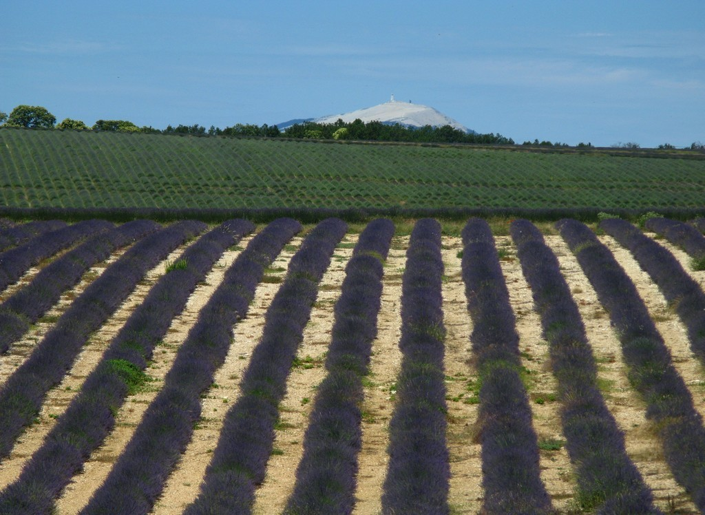 Лавандовое поле с видом на гору Мон-Ванту