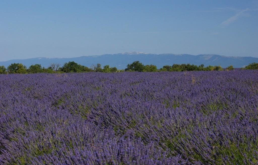 Лавандовое поле у подножия горы Люр