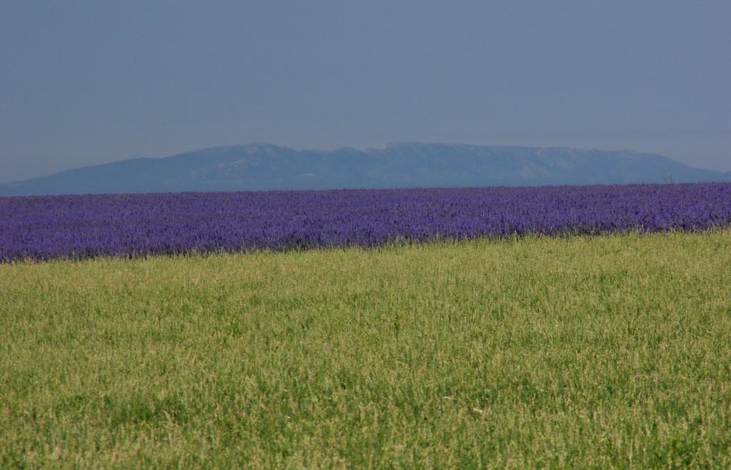 Лавандовое поле у подножия горы Сен-Виктуар