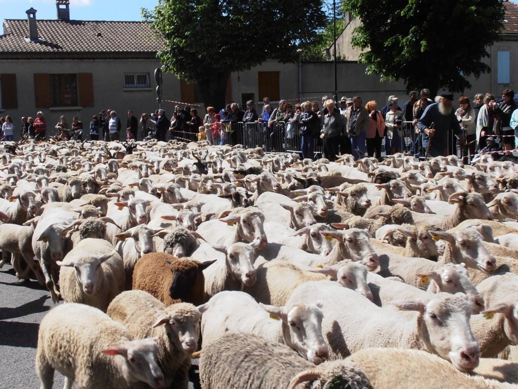 Перегон овец на летние пастбища