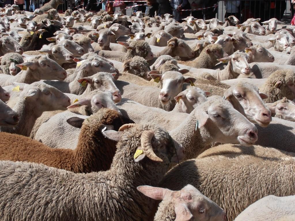 Отара в 800 овец