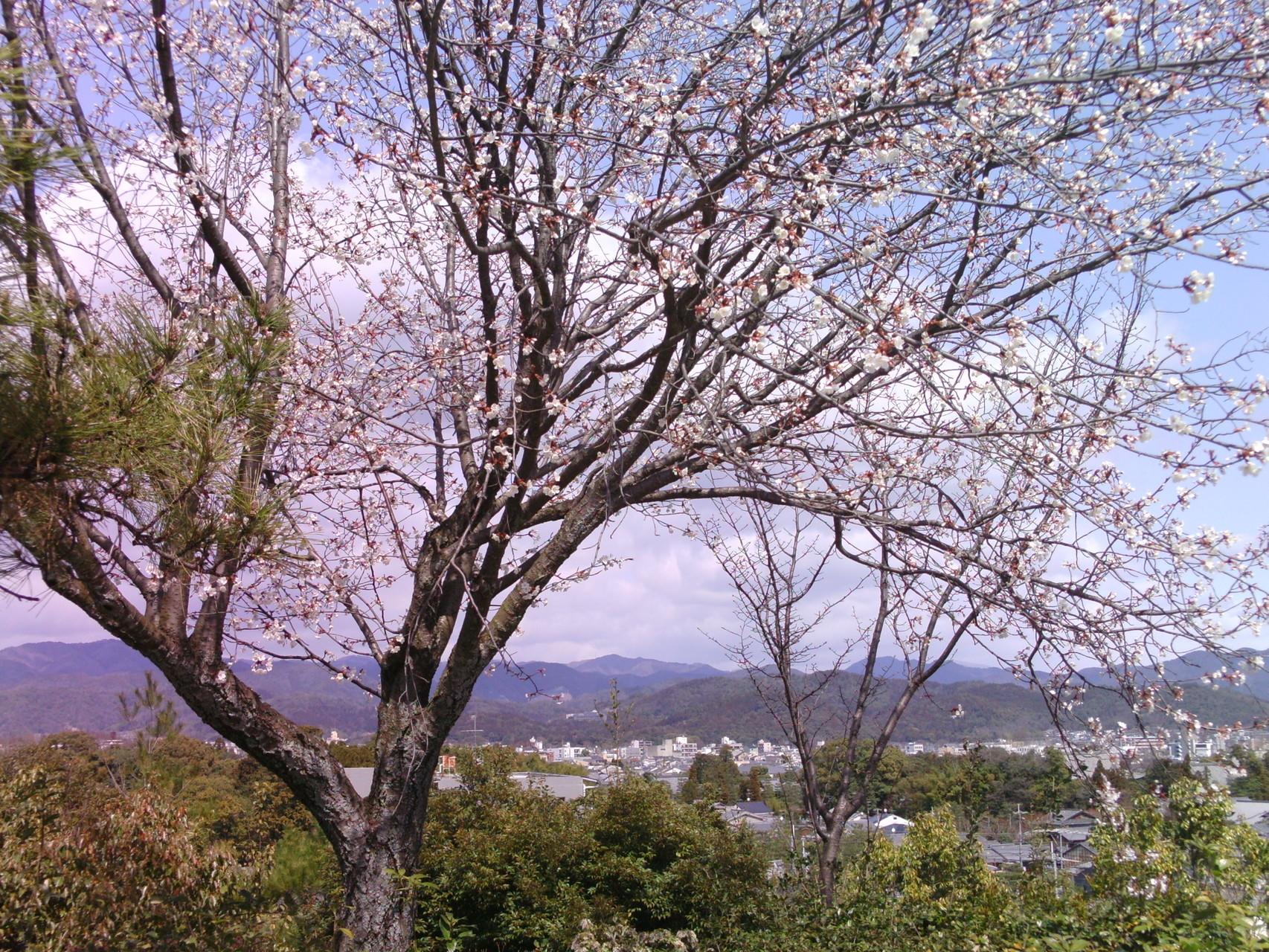 桜の名所・船岡山公園