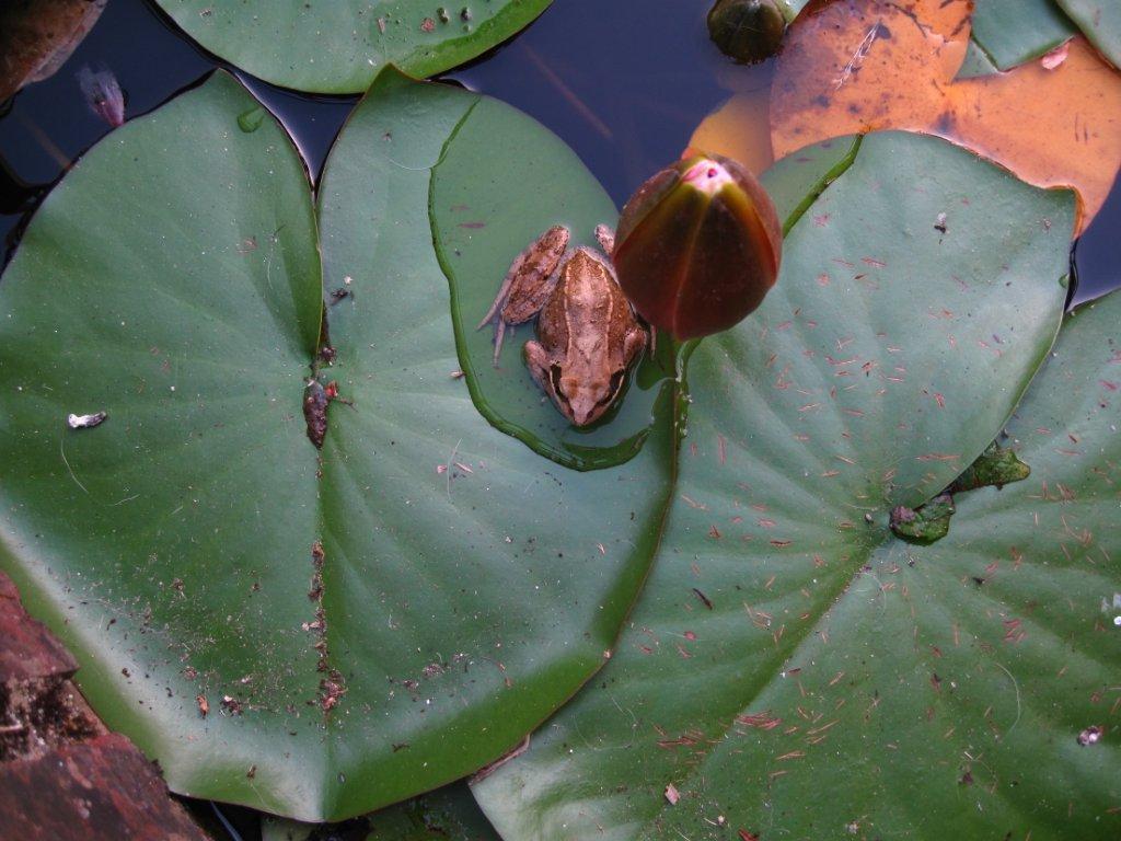 Une grenouille dans la mare du gîte