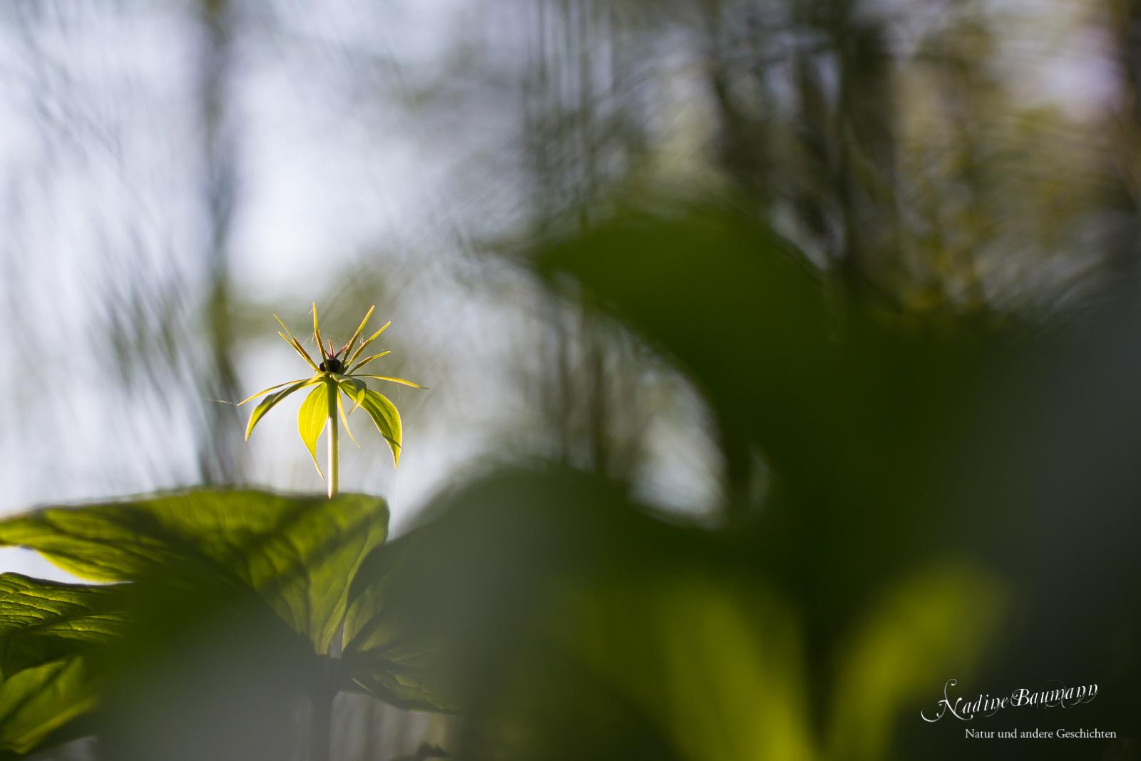 Einbeere  (Paris quadrifolia)