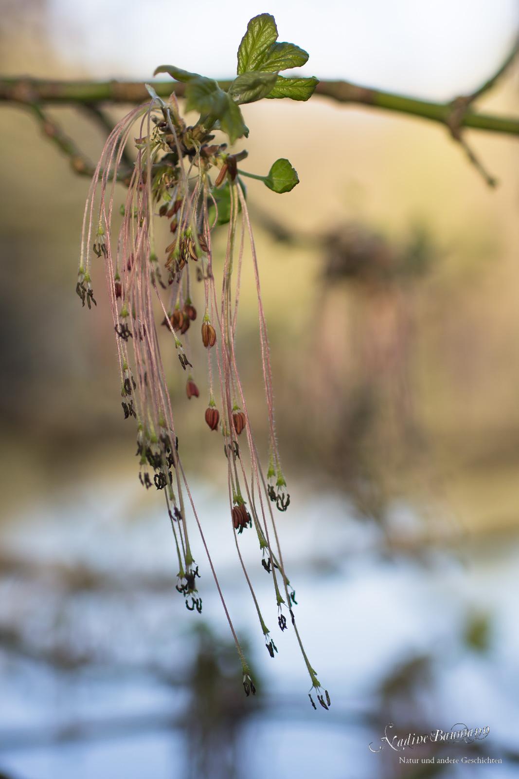 Eschen-Ahorn (Acer negundo)