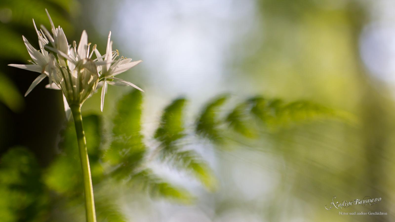 Bärlauch (Allium ursinum) und Farn