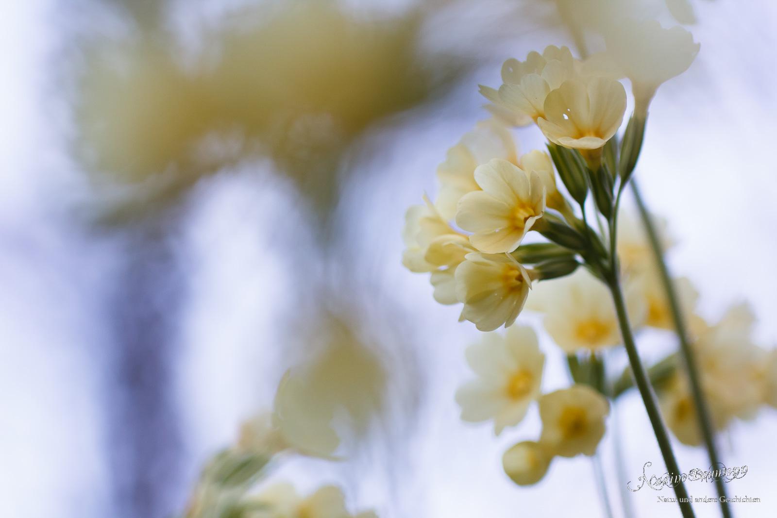 Schlüsselblume (Primula elatior)