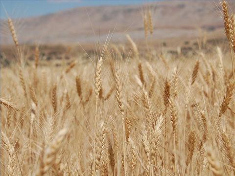 C'est bientôt la fin de ce monde, la moisson des humains est prête pour la récolte. Jésus est le maître de la moisson. Les humains sont comparés au bon blé et à la mauvaise herbe.