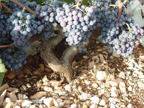Les raisins mûrs sont récoltés ou vendangés, puis foulés ou écrasés dans une grande cuve pour obtenir le moût. Puis le moût fermente et les sucres sont transformés en alcool. Suivent alors les étapes de clarification et de maturation ou vieillissement.