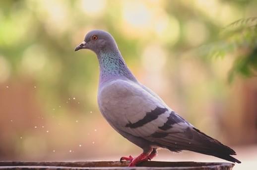 Les tourterelles et les pigeons sont granivores, ils se nourrissent de graines et sont donc végétariens. Les mammifères offerts en holocauste à Jéhovah sont tous végétariens, plus précisément herbivores (ce sont des bovidés et des cervidés).
