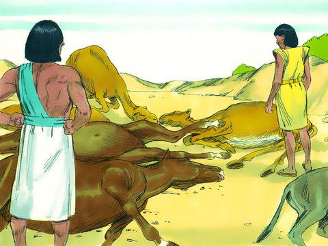 Dieu a envoyé 10 fléaux (ou 10 plaies) au pharaon d'Egypte afin qu'il laisse partir les Israélites alors en esclavage. La mort du bétail.