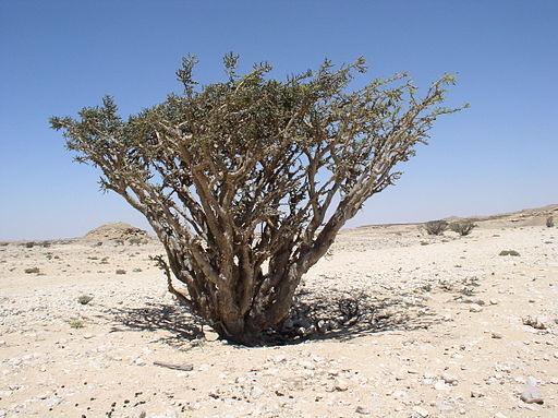 Le parfum odoriférant brûlé en offrande à Jéhovah sur l'autel des parfums contenait de l'encens pur ou oliban, une oléo-gomme-résine aromatique produite à partir de l'arbre Boswellia sacra.
