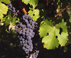 Prophétie de Zacharie: Je répandrai la paix sur la terre: les vignes donneront du raisin, le sol produira des récoltes, du ciel tomberont des pluies abondantes. J'accorderai tous ces bienfaits aux survivants de mon peuple.