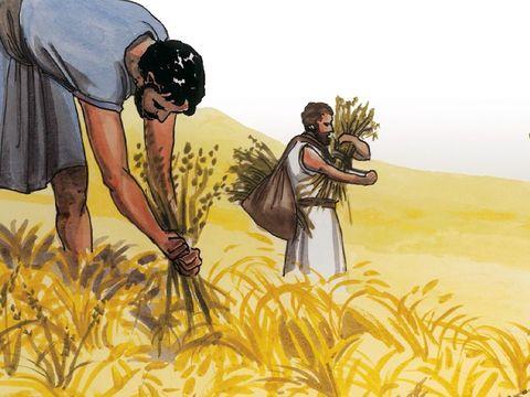 Au temps de la moisson, les moissonneurs, les anges, doivent récolter le bon blé mûr. Ils peuvent le différencier de la mauvaise herbe. Jésus est le maître de la moisson.