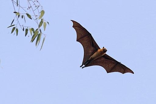 """Le mot hébreu qui est traduit par « oiseau » dans la Bible est """"Owph"""" qui peut être traduit par : Créatures volantes, volaille, insectes, oiseaux. Pour quelques exceptions, le terme """"Owph"""" correspond à des reptiles ou à la chauve-souris, mammifère volant."""