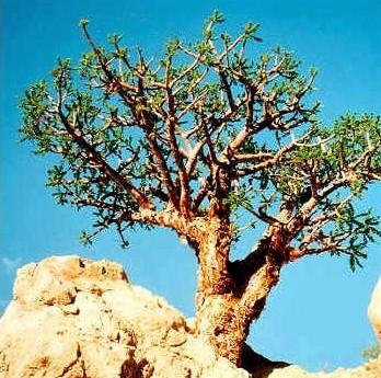 Le stacté entrerait dans la composition du parfum odoriférant offert à Jéhovah Dieu sur l'autel des parfums dans le temple ou le Tabernacle. Le stacté provient, lui, de l'arbre à myrrhe ou balsamier (Commiphora myrrha).