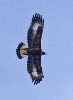 L'aigle volait haut dans le ciel pour annoncer par trois fois « Malheur ! » aux habitants de la Terre. Ces 3 malheurs sont annoncés par les 3 dernières sonneries de trompette.
