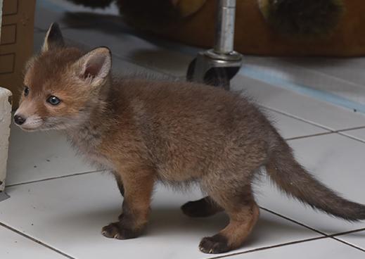 Kleine Fuchs-Welpen können unglaublich süß sein