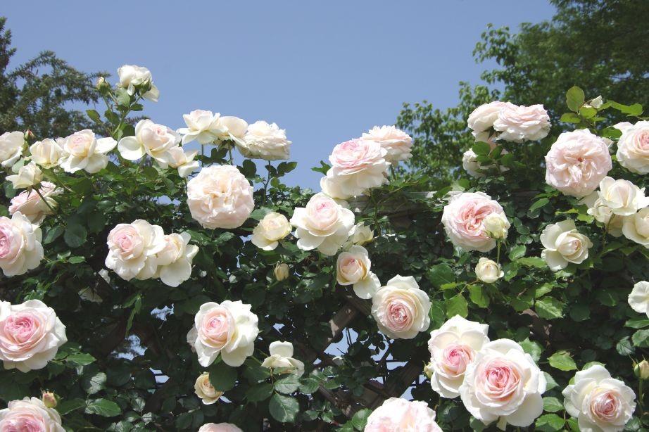 岡村公園の白いバラ