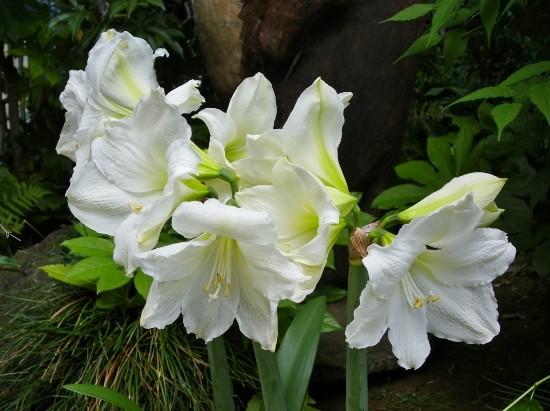 白色アマリリス