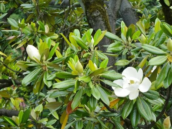 タイザンボクの花