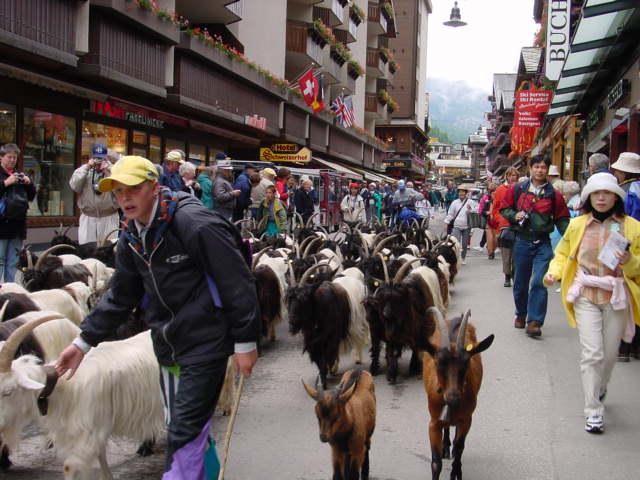 チェルマットの街《 バンホーフ通り》をヤギの集団が