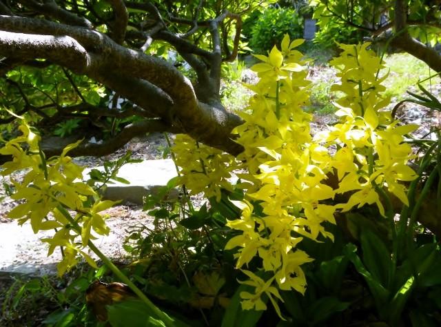 黄色エビネラン