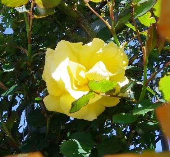 黄色のバラが1輪咲いていた