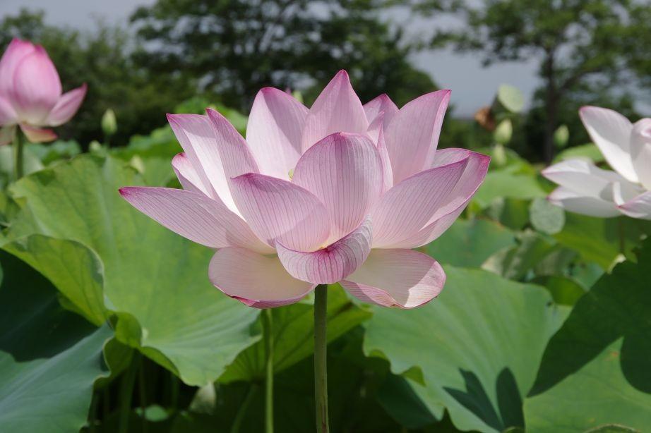 ハスの花(白)