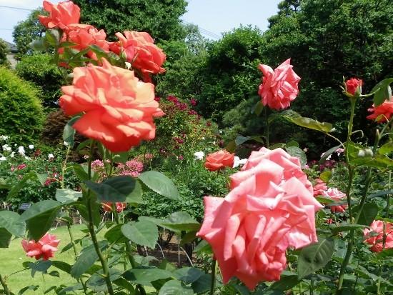 バラがきれいに咲いていた
